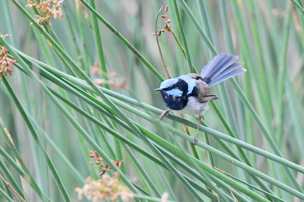 Superb Fairy -wren ( a fan tail )