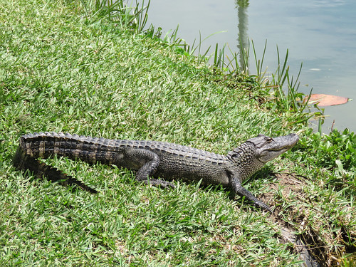 us usa america unitedstates southtexas day10 southpadreisland thebirdingandnaturecentre nature wildlife reptile alligator americanalligator alligatormississippiensis oncefacedextinction resting grass sideview outdoor 28march2019 canon sx60 canonsx60 powershot annkelliott anneelliott ©anneelliott2019 ©allrightsreserved