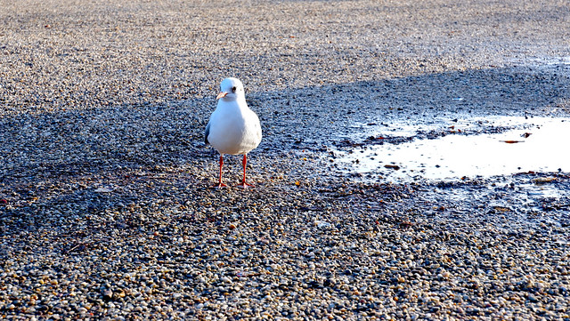Herring gull next to a puddle