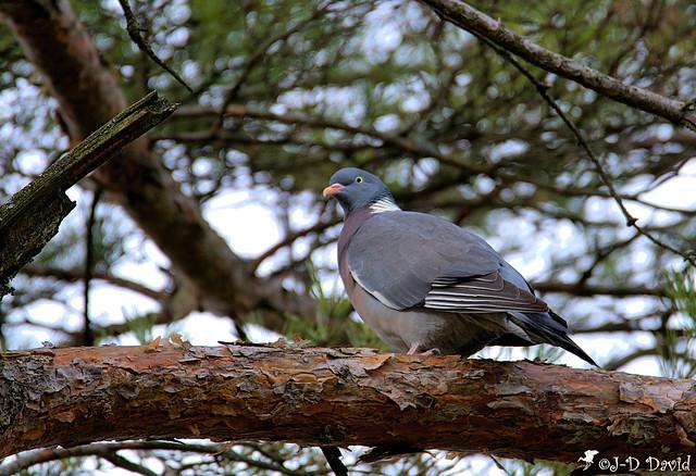 Pigeon ramier_14