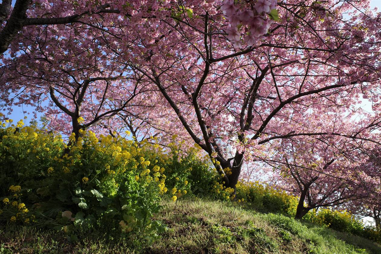 松田山桜祭り 菜の花と河津桜