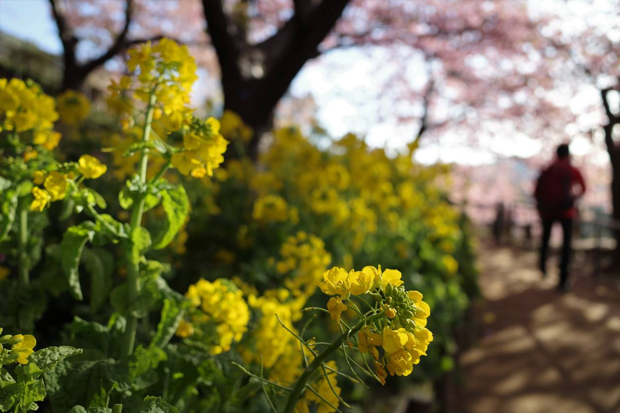 丹沢・松田山 菜の花と満開の河津桜 日帰りハイキング