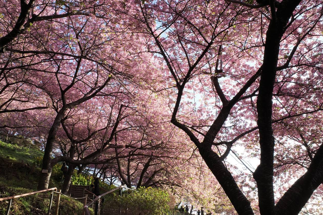 丹沢・松田山 満開の河津桜を楽しむ春の登山