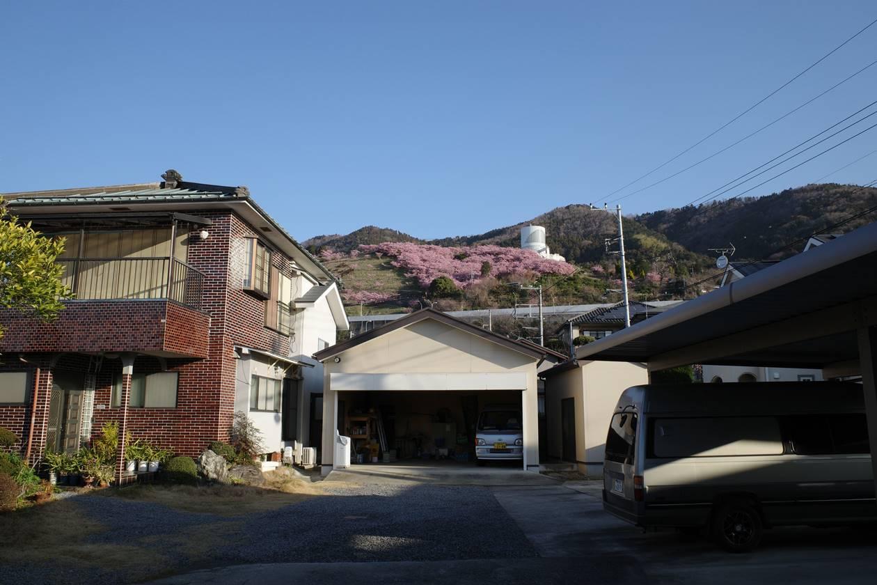 駅から眺める松田山の河津桜