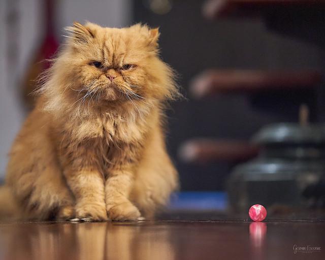 Merlin - the cat - GEA03354