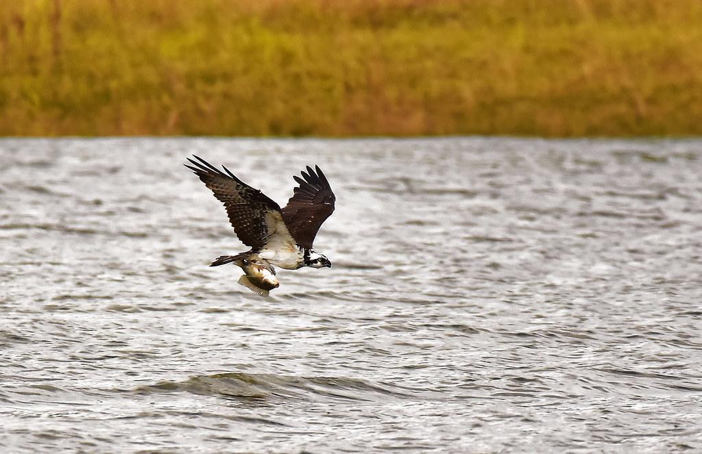 Águia-pescadora com tilápia