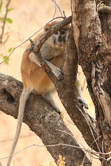 Red Patas Monkey-7D2_1198-001