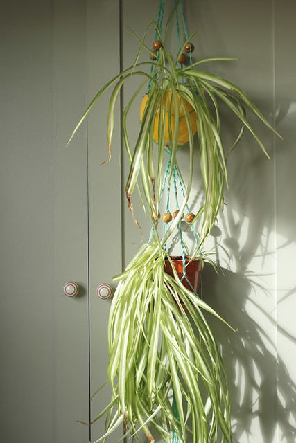 Double plant hanger project with spider plants