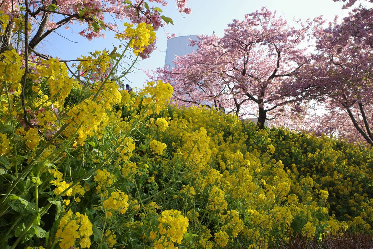 松田山 満開の河津桜と菜の花
