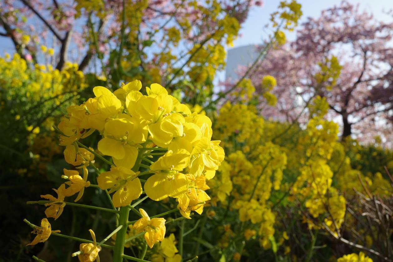 松田山の菜の花