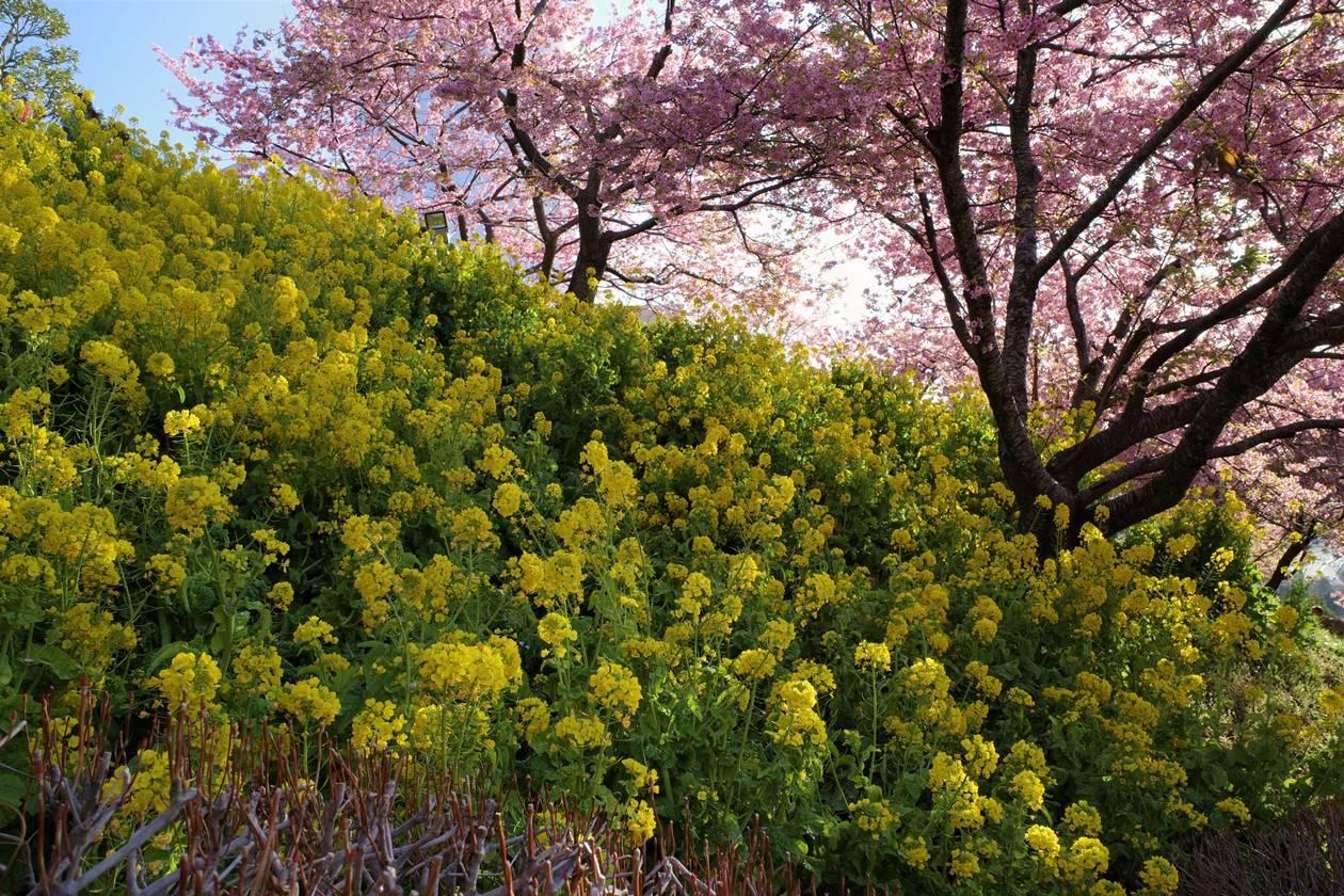 河津桜と菜の花畑