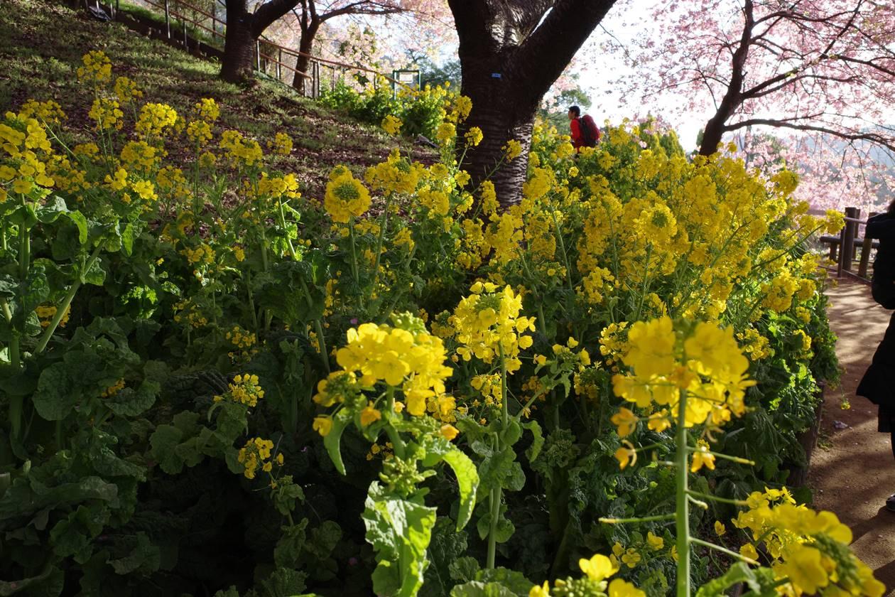 松田山の菜の花畑
