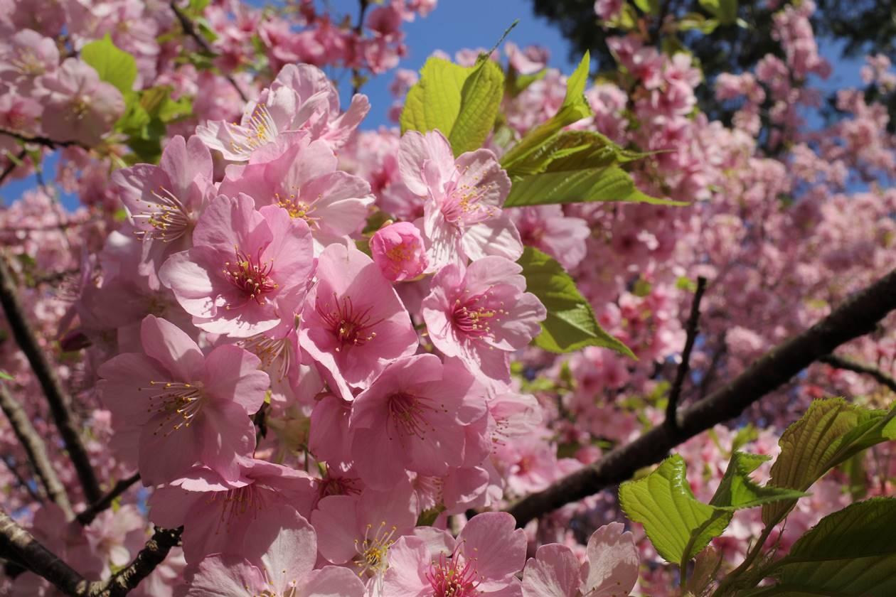 松田山 満開の河津桜