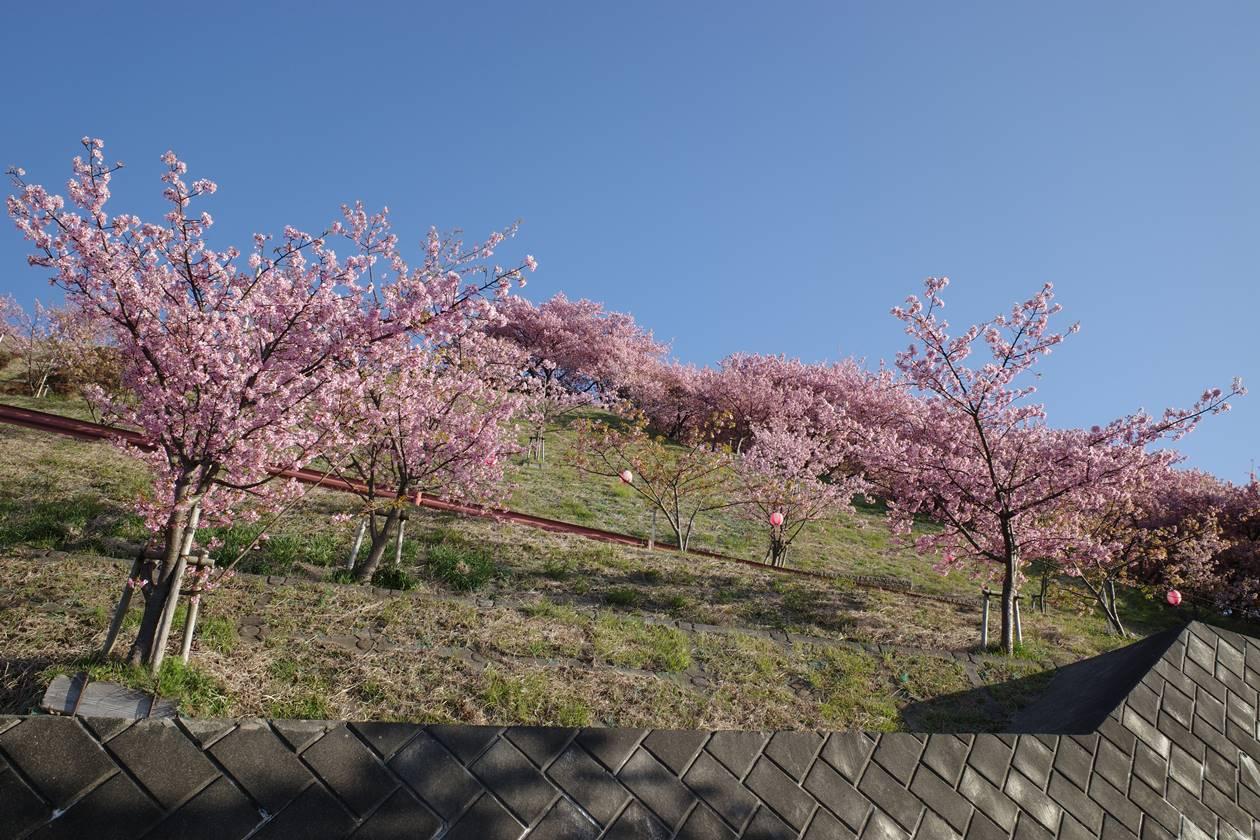 まつだ桜まつり 入口の河津桜