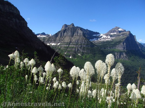 Beargrass en route back to Logan Pass on the Highline Trail, Glacier National Park, Montana