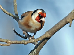 Goldfinch _5791