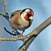 Goldfinch _5791