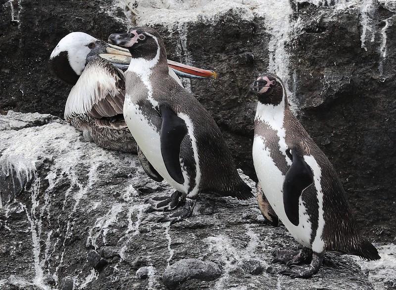 Humboldt Penguin_Spheniscus humboldti_Cornell Amazon Cruise_Lima day_Ascanio_DZ3A5006