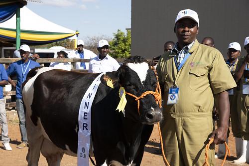 Jun/2019 - African Dairy Genetic Gains bull and cow show (Maonesho ya ng'ombe bora wa maziwa Tanzania) at the Nane Nane exhibition center in Dodoma, Tanzania, on 18 June 2019 (photo credit: ILRI/Mireille Ferrari).