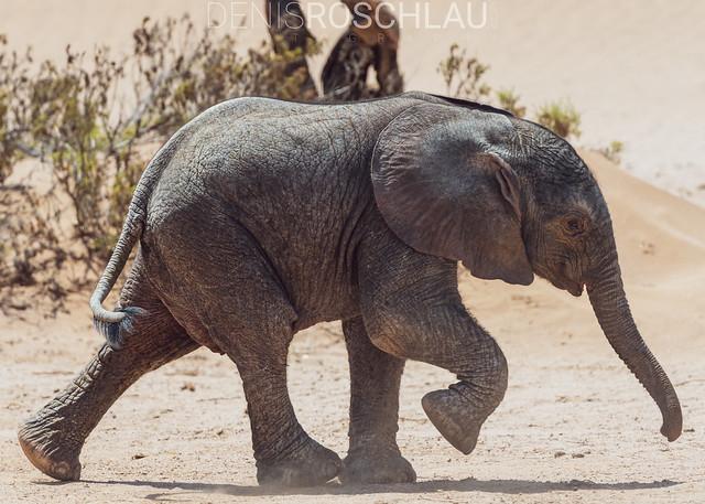 Desert adapted elephant calf