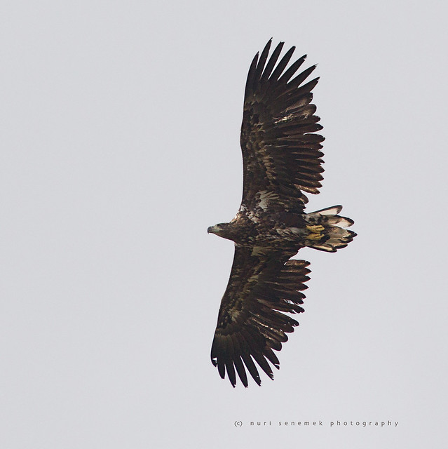 white-tailed eagle / Haliaeetus albicilla