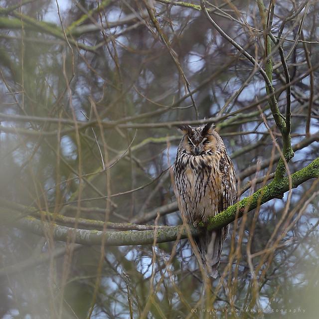 long-eared owl / Asio otus
