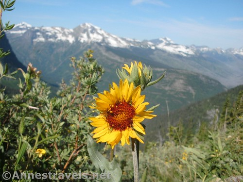 A Blanket Flower along the Highline Trail, Glacier National Park, Montana