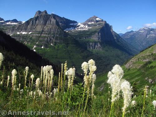 Beargrass along the Highline Trail.  That's Mount Oberlin and Mount Cannon in the background. Glacier National Park, Montana