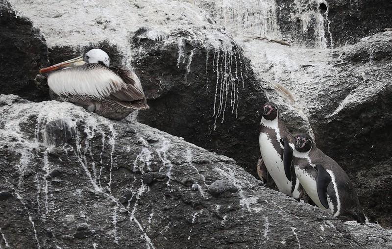 Humboldt Penguin_Spheniscus humboldti_Cornell Amazon Cruise_Lima day_Ascanio_DZ3A5000