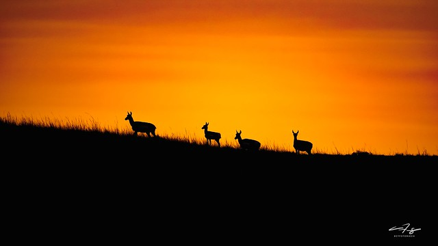 Pronghorn Sunset