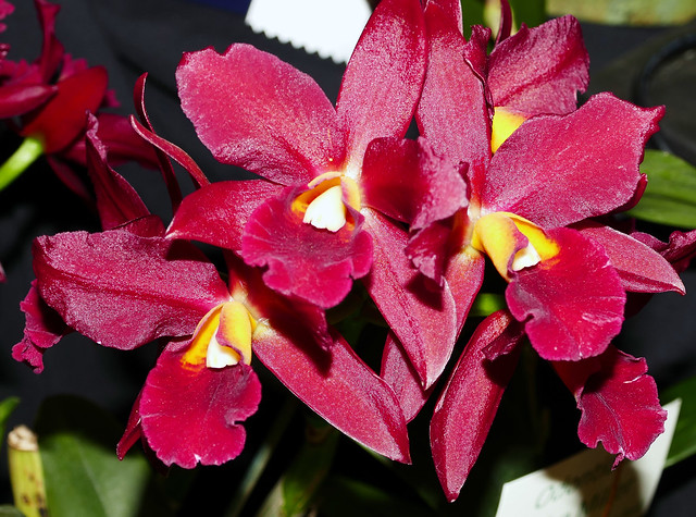 2020 Orchids in Focus: 68th Annual Pacific Orchid Exposition, Cattlianthe Tutankamen hybrid orchid 2-20*