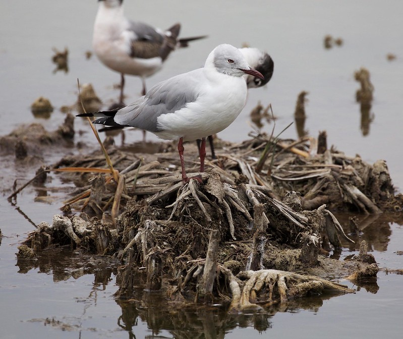 Gray-hooded Gull_Chroicocephalus cirrocephalus_Ascanio_Cornell_Lima_DZ3A4713