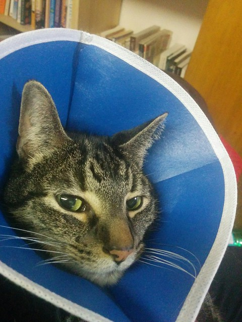 Shakespeare, cradled and in a cone #toronto #dovercourtvillage #shakespeare #cats #catsofinstagram #blue #cone