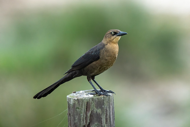 Great-Tailed Grackle (F)