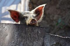 Cochon curieux Cap vert Rui Vaz _3327