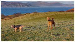 Windswept dogs on Mull