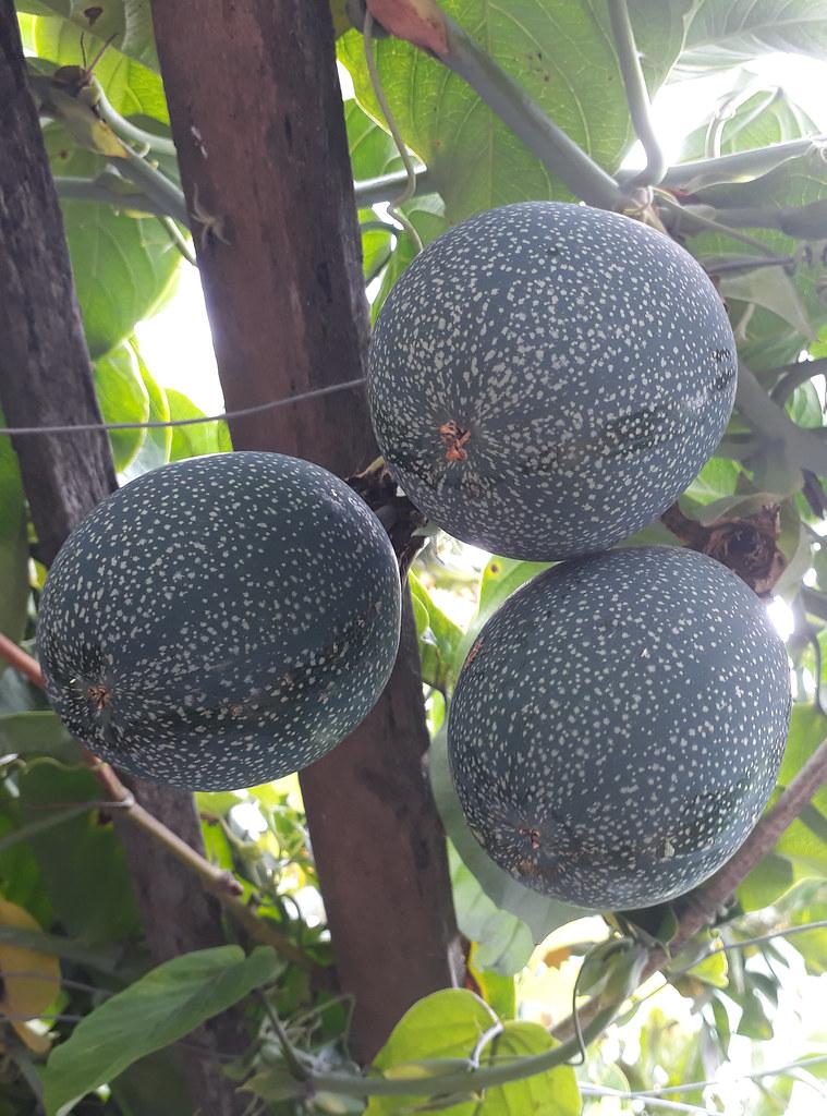 01193 Passiflora ligularis, GRANADILLA