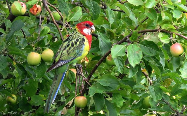 An Eastern Rosella Enjoying an Apple or Two or Three...