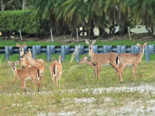 White-tailed Deer herd- seven 2-20200226