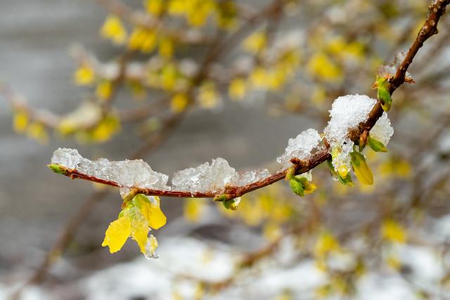 Late winterprik