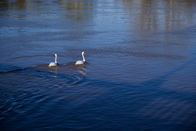 Swans on the River Severn