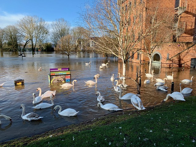 Swans on the flooded River Severn
