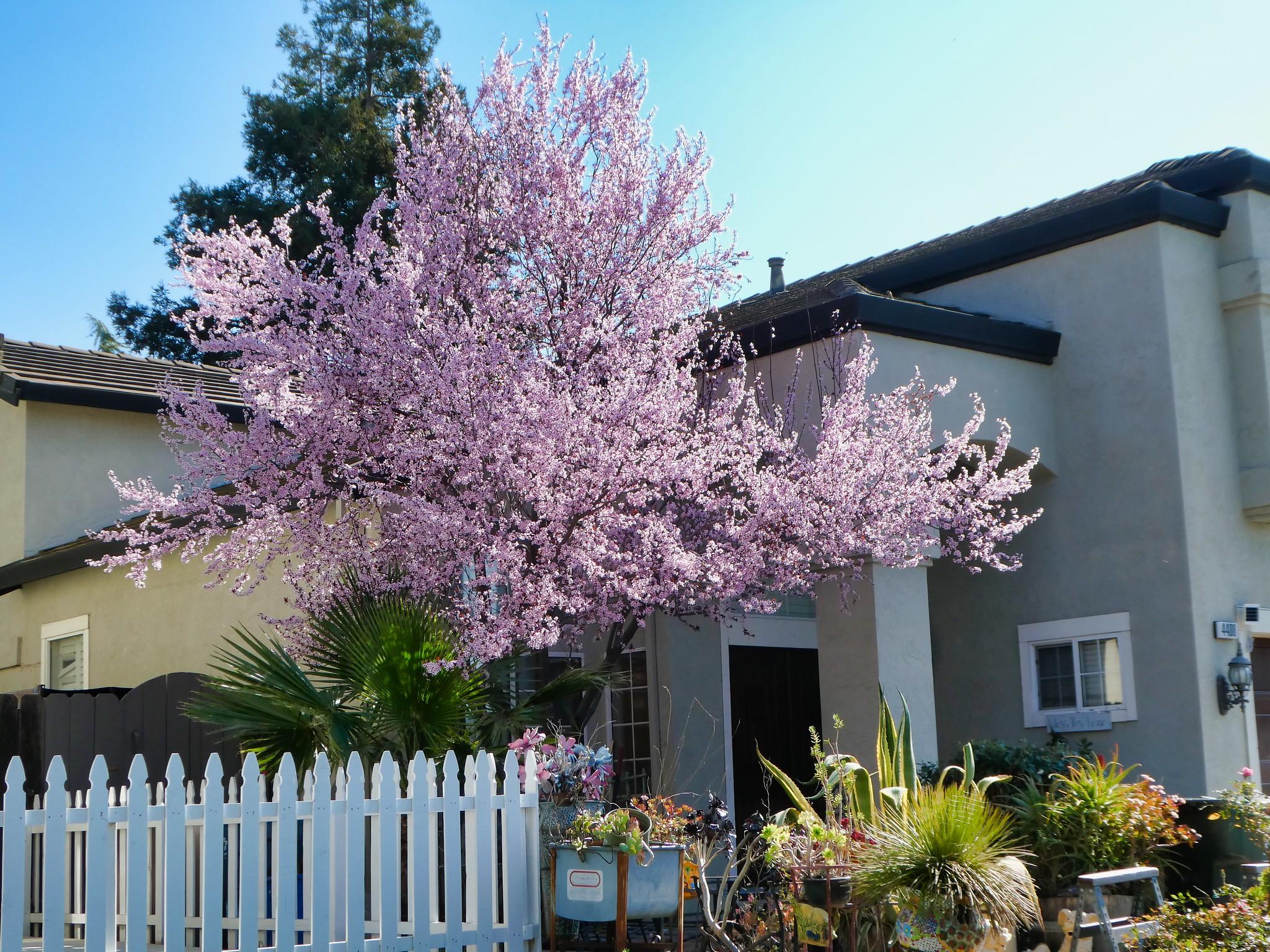20200226 - Pink Tree in Frontyard (4-5)