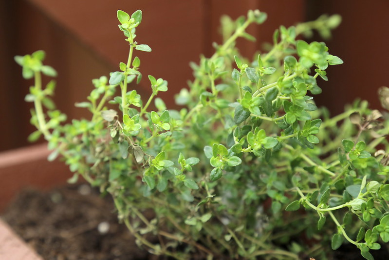 Thyme | Herbs To Plant In Your Garden To Fight Off Flu And How To Use Them