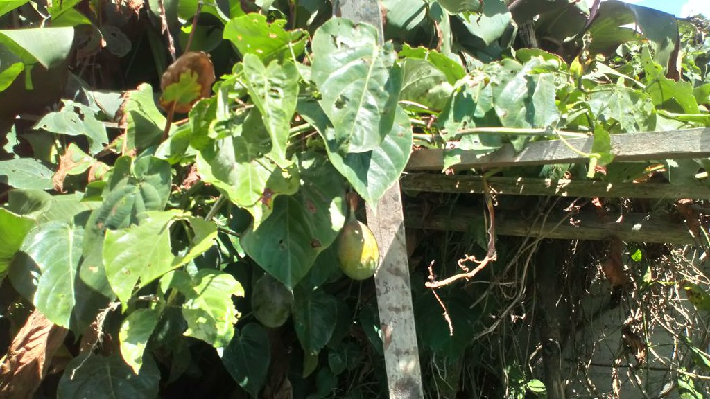 01251 Passiflora ligularis, GRANDILLA