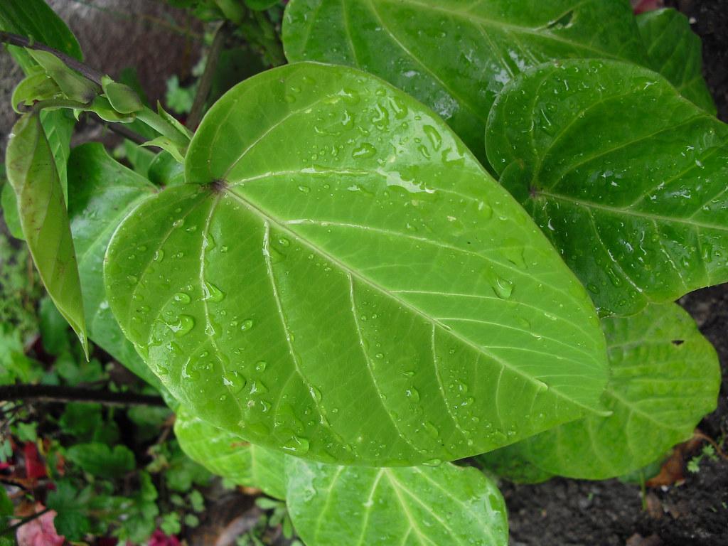 01256 Passiflora ligularis, GRANADILLA