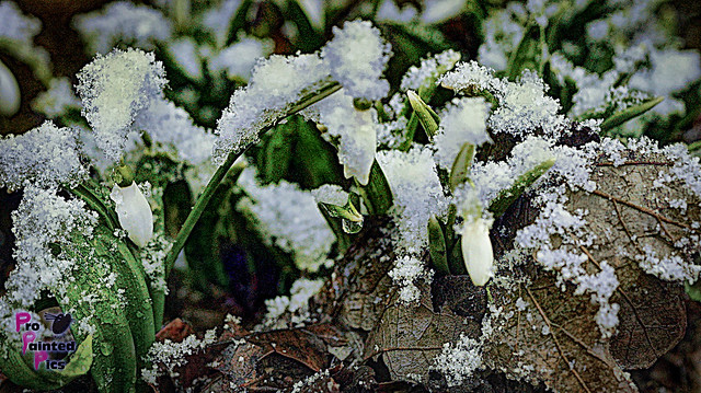 Snowbells in snow