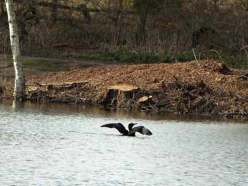 Basking Cormorant