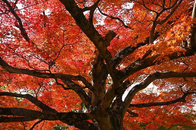 Autumn colors @ Nara Park.