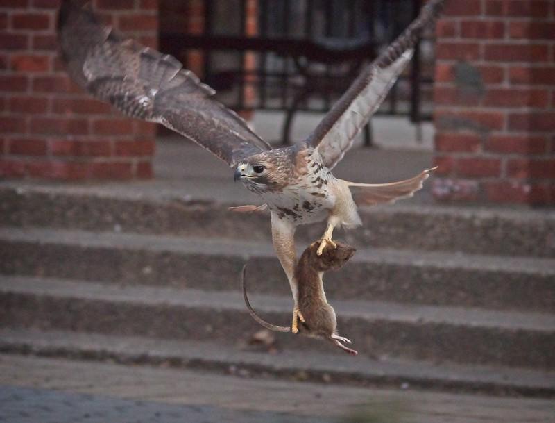 Christo catches a big rat